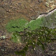 Leaf: Trichomanes intricatum. ~ By Robbin Moran. ~ Copyright © 2021 Robbin Moran. ~ rmoran[at]nybg.org ~ Plant Systematics - www.plantsystematics.org/