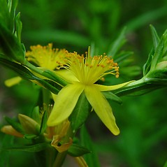 Flowers: Hypericum adpressum. ~ By Arthur Haines. ~ Copyright © 2021. ~ arthurhaines[at]wildblue.net