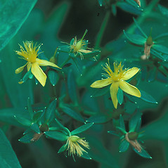 Flowers: Hypericum adpressum. ~ By William Larkin. ~ Copyright © 2019 New England Wild Flower Society. ~ Image Request, images[at]newenglandwild.org