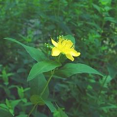 Flowers: Hypericum ascyron. ~ By Arthur Haines. ~ Copyright © 2020. ~ arthurhaines[at]wildblue.net