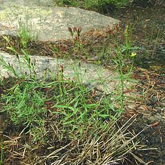 Plant form: Hypericum canadense. ~ By Glen Mittelhauser. ~ Copyright © 2019 Glen Mittelhauser. ~ www.mainenaturalhistory.org