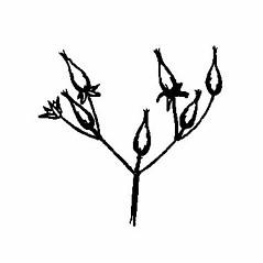 Fruits: Hypericum densiflorum. ~ By West Virgina University Press. ~ Copyright © 2020 West Virgina University Press. ~ carrie.mullen[at]mail.wva.edu ~ Core, Earl L. and Nelle P. Ammons. 1958. Woody Plants in Winter. West Virginia U. Press, Morgantown, WV. 218pp.