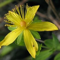 Flowers: Hypericum ellipticum. ~ By Marilee Lovit. ~ Copyright © 2021 Marilee Lovit. ~ lovitm[at]gmail.com