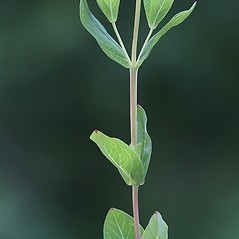 Stems: Hypericum ellipticum. ~ By Arieh Tal. ~ Copyright © 2021 Arieh Tal. ~ www.nttlphoto.com ~ Arieh Tal - www.nttlphoto.com