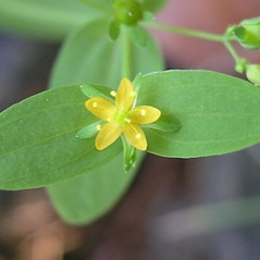 Flowers: Hypericum mutilum. ~ By Bruce Patterson. ~ Copyright © 2021 Bruce Patterson. ~ foxpatterson[at]comcast.net