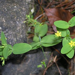 Leaves: Hypericum mutilum. ~ By Bruce Patterson. ~ Copyright © 2020 Bruce Patterson. ~ foxpatterson[at]comcast.net