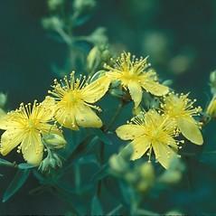 Flowers: Hypericum perforatum. ~ By Arieh Tal. ~ Copyright © 2021 Arieh Tal. ~ http://botphoto.com/ ~ Arieh Tal - botphoto.com