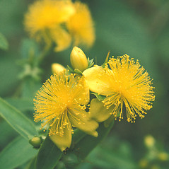 Flowers: Hypericum prolificum. ~ By John Lynch. ~ Copyright © 2020 New England Wild Flower Society. ~ Image Request, images[at]newenglandwild.org