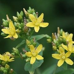 Additional features: Hypericum punctatum. ~ By Arieh Tal. ~ Copyright © 2021 Arieh Tal. ~ http://botphoto.com/ ~ Arieh Tal - botphoto.com