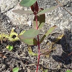 Plant form: Triadenum fraseri. ~ By Glen Mittelhauser. ~ Copyright © 2020 Glen Mittelhauser. ~ www.mainenaturalhistory.org