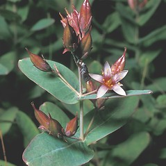 Flowers: Triadenum virginicum. ~ By Frank Bramley. ~ Copyright © 2021 New England Wild Flower Society. ~ Image Request, images[at]newenglandwild.org