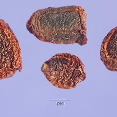 Fruits: Iris germanica. ~ By Steve Hurst. ~  Public Domain. ~  ~ USDA-NRCS Plants Database - plants.usda.gov/java/