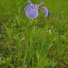 Plant form: Iris hookeri. ~ By Glen Mittelhauser. ~ Copyright © 2020 Glen Mittelhauser. ~ www.mainenaturalhistory.org