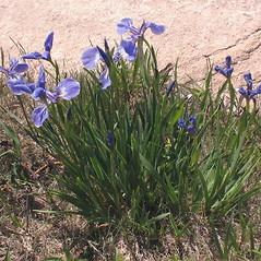 Plant form: Iris hookeri. ~ By Marilee Lovit. ~ Copyright © 2020 Marilee Lovit. ~ lovitm[at]gmail.com