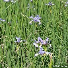 Plant form: Iris prismatica. ~ By Jeffrey S. Pippen. ~ Copyright © 2021 Jeffrey S. Pippen. ~ jspippen[at]duke.edu ~ Jeff's Plant Page - www.duke.edu/~jspippen/plants/plants.htm