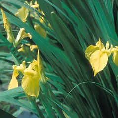 Flowers: Iris pseudacorus. ~ By Frank Bramley. ~ Copyright © 2020 New England Wild Flower Society. ~ Image Request, images[at]newenglandwild.org