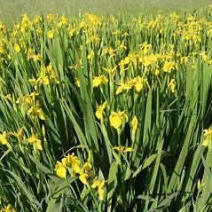 Inflorescences: Iris pseudacorus. ~ By Charles Brun. ~ Copyright © 2021. ~ brunc[at]wsu.edu ~ Pacific Northwest Plants - www.pnwplants.wsu.edu/