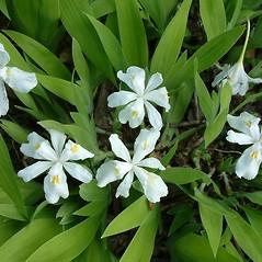 Inflorescences: Iris tectorum. ~ By Louis-M. Landry. ~ Copyright © 2021 Louis-M. Landry. ~ LM.Landry[at]videotron.ca  ~ CalPhotos - calphotos.berkeley.edu/flora/