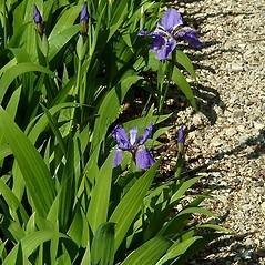 Leaves: Iris tectorum. ~ By Paul S. Drobot. ~ Copyright © 2021 Paul S. Drobot. ~ www.plantstogrow.com, www.plantstockphotos.com ~ Robert W. Freckmann Herbarium, U. of Wisconsin-Stevens Point