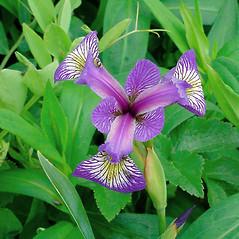 Flowers: Iris versicolor. ~ By Glen Mittelhauser. ~ Copyright © 2021 Glen Mittelhauser. ~ www.mainenaturalhistory.org