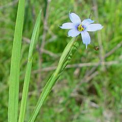 Flowers: Sisyrinchium angustifolium. ~ By Arthur Haines. ~ Copyright © 2021. ~ arthurhaines[at]wildblue.net