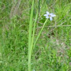 Plant form: Sisyrinchium angustifolium. ~ By Arthur Haines. ~ Copyright © 2021. ~ arthurhaines[at]wildblue.net