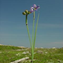 Plant form: Sisyrinchium angustifolium. ~ By Glen Mittelhauser. ~ Copyright © 2021 Glen Mittelhauser. ~ www.mainenaturalhistory.org