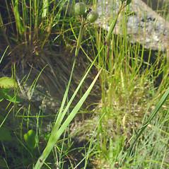 Leaves: Sisyrinchium angustifolium. ~ By Glen Mittelhauser. ~ Copyright © 2021 Glen Mittelhauser. ~ www.mainenaturalhistory.org