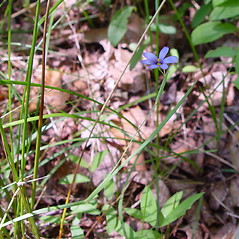 Plant form: Sisyrinchium atlanticum. ~ By Arthur Haines. ~ Copyright © 2021. ~ arthurhaines[at]wildblue.net