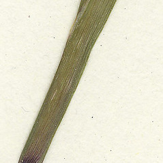 Leaves: Sisyrinchium atlanticum. ~ By Missouri Botanical Garden. ~ Copyright © 2021 CC-BY-NC-SA. ~  ~ Tropicos, Missouri Botanical Garden - www.tropicos.org