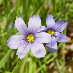 Flowers: Sisyrinchium montanum. ~ By Arthur Haines. ~ Copyright © 2021. ~ arthurhaines[at]wildblue.net