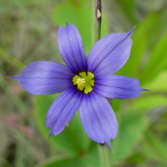 Flowers: Sisyrinchium montanum. ~ By Glen Mittelhauser. ~ Copyright © 2021 Glen Mittelhauser. ~ www.mainenaturalhistory.org
