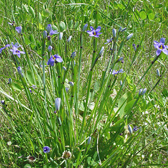 Plant form: Sisyrinchium montanum. ~ By Glen Mittelhauser. ~ Copyright © 2021 Glen Mittelhauser. ~ www.mainenaturalhistory.org