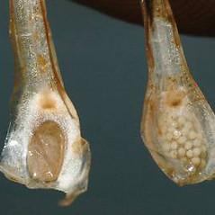 Spore cones: Isoetes echinospora. ~ By Ben Legler. ~ Copyright © 2021 Ben Legler. ~ mountainmarmot[at]hotmail.com ~ U. of Washington - WTU - Herbarium - biology.burke.washington.edu/herbarium/imagecollection.php