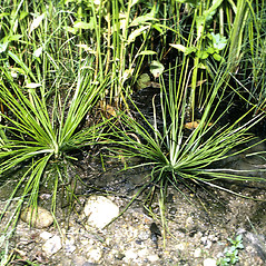Vegetative leaves: Isoetes engelmannii. ~ By W. Carl Taylor. ~  Public Domain. ~  ~ USDA-NRCS Plants Database - plants.usda.gov/java/
