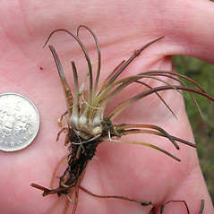 Branches: Isoetes lacustris. ~ By Robbin Moran. ~ Copyright © 2020 Robbin Moran. ~ rmoran[at]nybg.org ~ Plant Systematics - www.plantsystematics.org/