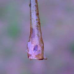 Spore cones: Isoetes prototypus. ~ By Arthur Haines. ~ Copyright © 2021 Arthur Haines. ~ arthur.d.haines[at]gmail.com