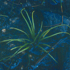 Plant form: Isoetes tuckermanii. ~ By Arthur Haines. ~ Copyright © 2021. ~ arthurhaines[at]wildblue.net