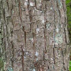 Bark: Carya cordiformis. ~ By Alexey Zinovjev. ~ Copyright © 2020. ~ webmaster[at]salicicola.com ~ Salicicola - www.salicicola.com/
