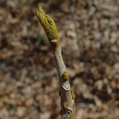 Winter buds: Carya cordiformis. ~ By Arthur Haines. ~ Copyright © 2020. ~ arthurhaines[at]wildblue.net