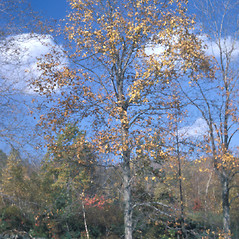 Plant form: Carya ovata. ~ By Frank Bramley. ~ Copyright © 2021 New England Wild Flower Society. ~ Image Request, images[at]newenglandwild.org