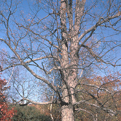 Plant form: Carya ovata. ~ By Frank Bramley. ~ Copyright © 2020 New England Wild Flower Society. ~ Image Request, images[at]newenglandwild.org