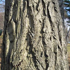 Bark: Juglans ailantifolia. ~ By Bruce Patterson. ~ Copyright © 2021 Bruce Patterson. ~ foxpatterson[at]comcast.net