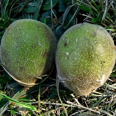 Fruits: Juglans ailantifolia. ~ By Michael Kesl . ~ Copyright © 2021 CC-BY-NC 3.0. ~  ~ Biolib - www.biolib.cz