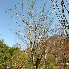 Plant form: Juglans ailantifolia. ~ By Andrea Moro. ~ Copyright © 2020 CC BY-NC-SA 3.0. ~  ~ luirig.altervista.org/flora/taxa/north-america.php