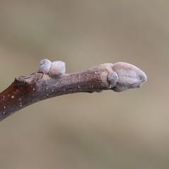 Winter buds: Juglans nigra. ~ By Arieh Tal. ~ Copyright © 2020 Arieh Tal. ~ http://botphoto.com/ ~ Arieh Tal - botphoto.com