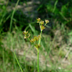 Inflorescences: Juncus acuminatus. ~ By Arthur Haines. ~ Copyright © 2021. ~ arthurhaines[at]wildblue.net