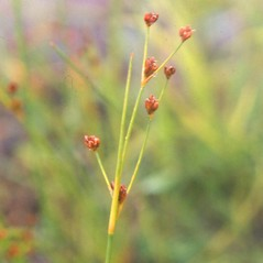 Inflorescences: Juncus alpinoarticulatus. ~ By Arthur Haines. ~ Copyright © 2021. ~ arthurhaines[at]wildblue.net
