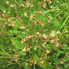 Flowers and fruits: Juncus articulatus. ~ By Glen Mittelhauser. ~ Copyright © 2020 Glen Mittelhauser. ~ www.mainenaturalhistory.org