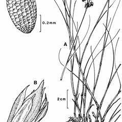 Plant form: Juncus articulatus. ~ By New York State Museum. ~ Copyright © 2021 New York State Museum. ~ www.nysm.nysed.gov/imagerequest